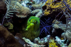 Moray Eel off of Roatan Honduras by Tammi Johnston